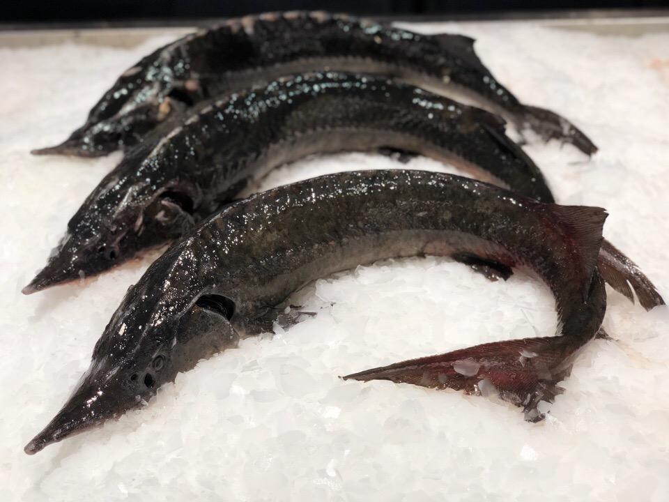 Царская рыба Стерлядь из семейства осетровых